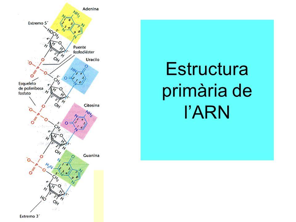 Estructura primària de l'ARN