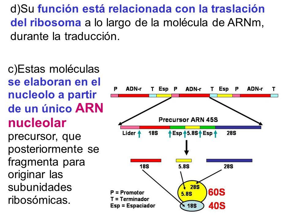 d)Su función está relacionada con la traslación del ribosoma a lo largo de la molécula de ARNm, durante la traducción.