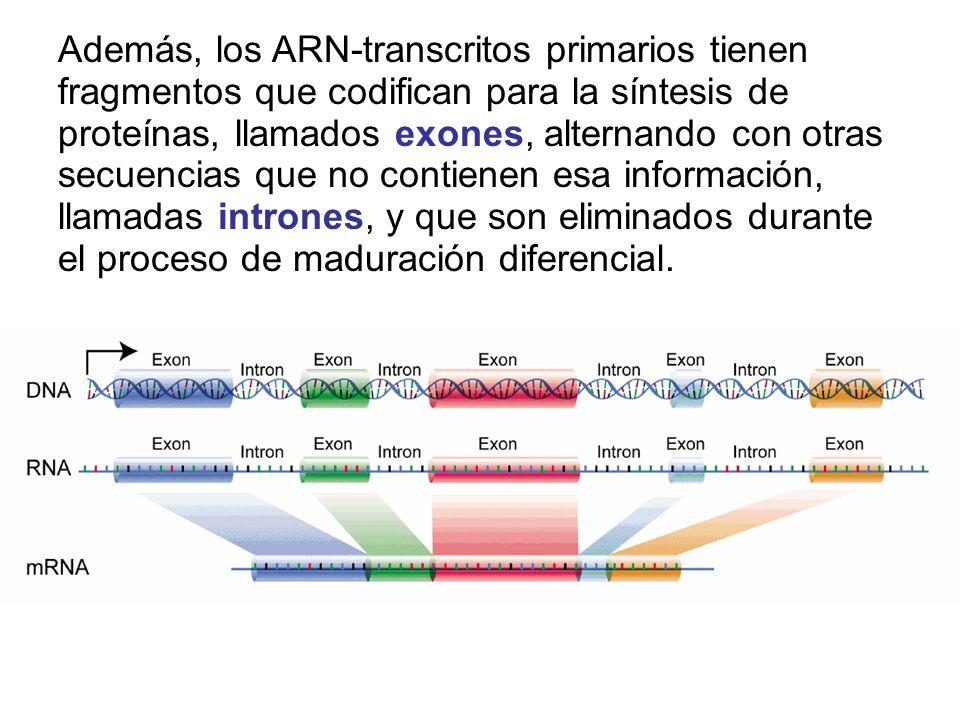 Además, los ARN-transcritos primarios tienen fragmentos que codifican para la síntesis de proteínas, llamados exones, alternando con otras secuencias que no contienen esa información, llamadas intrones, y que son eliminados durante el proceso de maduración diferencial.