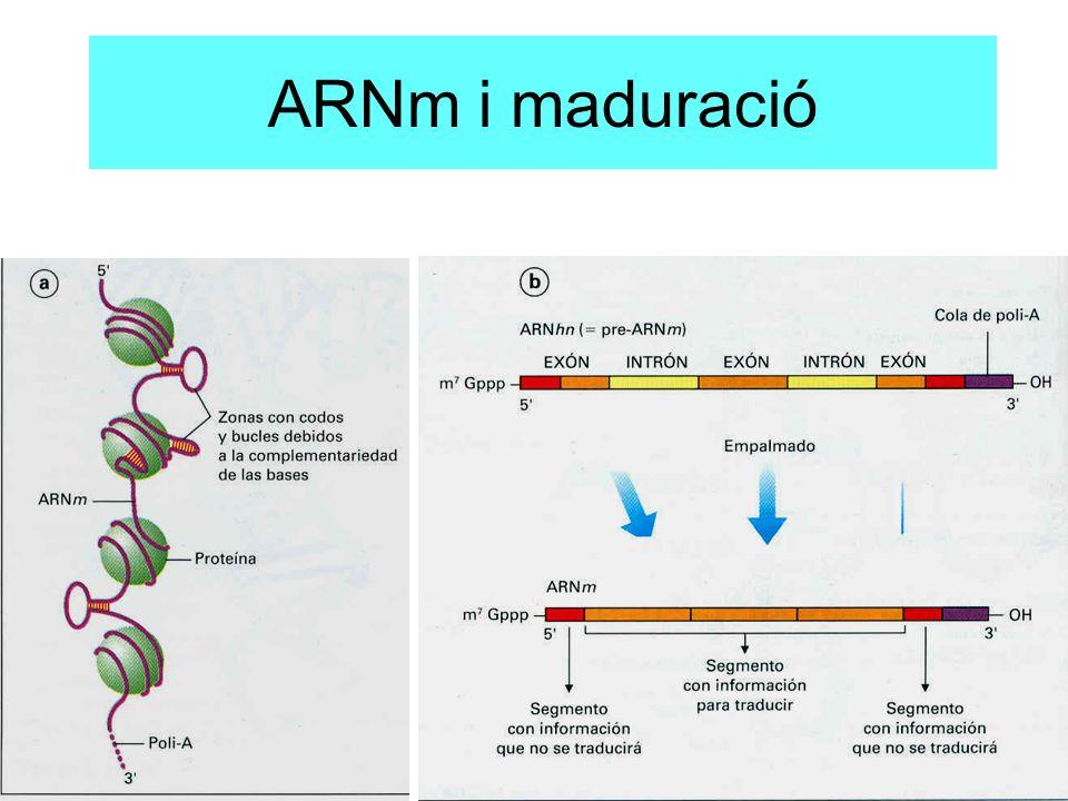 ARNm i maduració