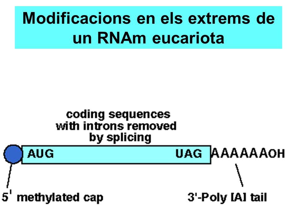 Modificacions en els extrems de un RNAm eucariota
