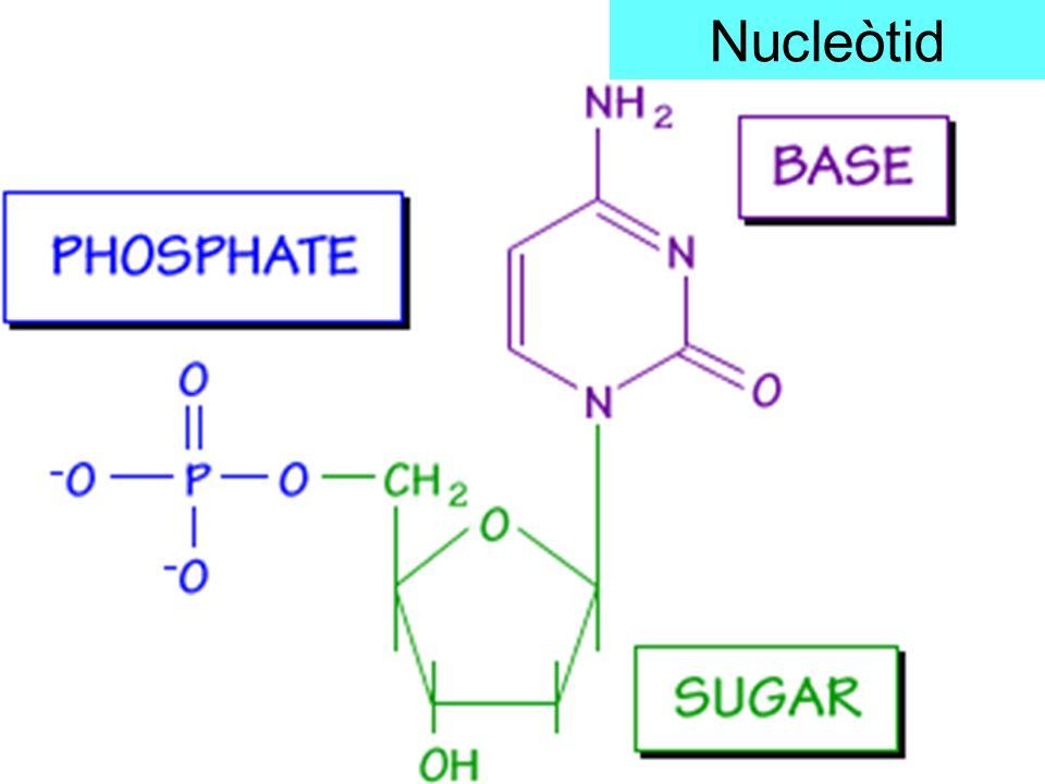 Nucleòtid