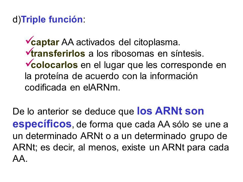 d)Triple función: captar AA activados del citoplasma. transferirlos a los ribosomas en síntesis.