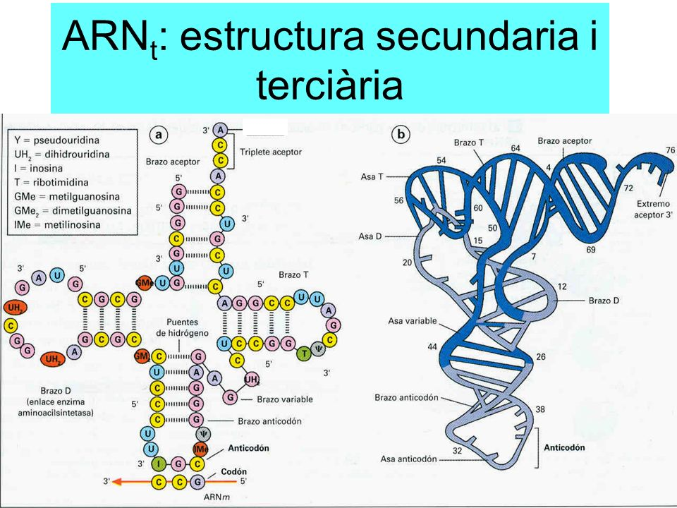 ARNt: estructura secundaria i terciària