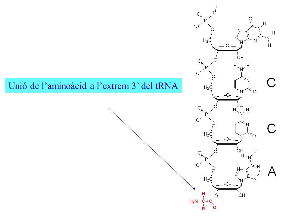 Unió de l'aminoàcid a l'extrem 3' del tRNA