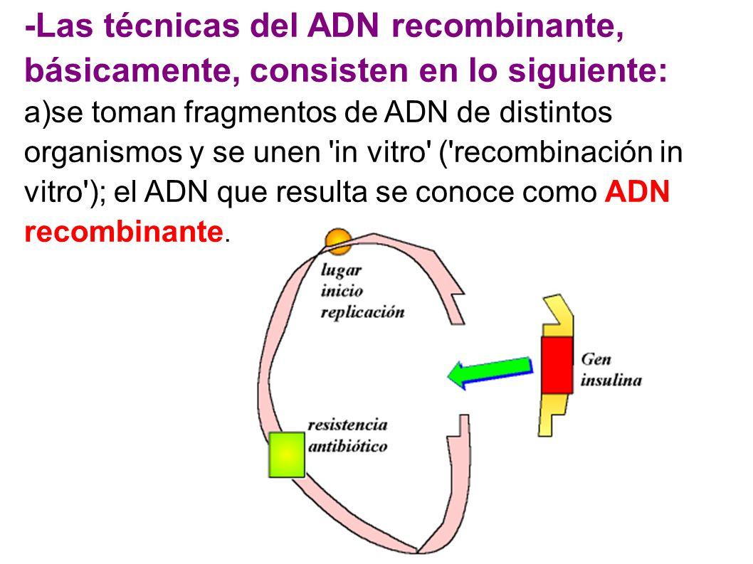 -Las técnicas del ADN recombinante, básicamente, consisten en lo siguiente: