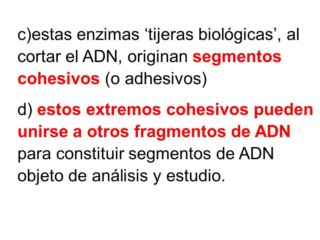 c)estas enzimas 'tijeras biológicas', al cortar el ADN, originan segmentos cohesivos (o adhesivos)