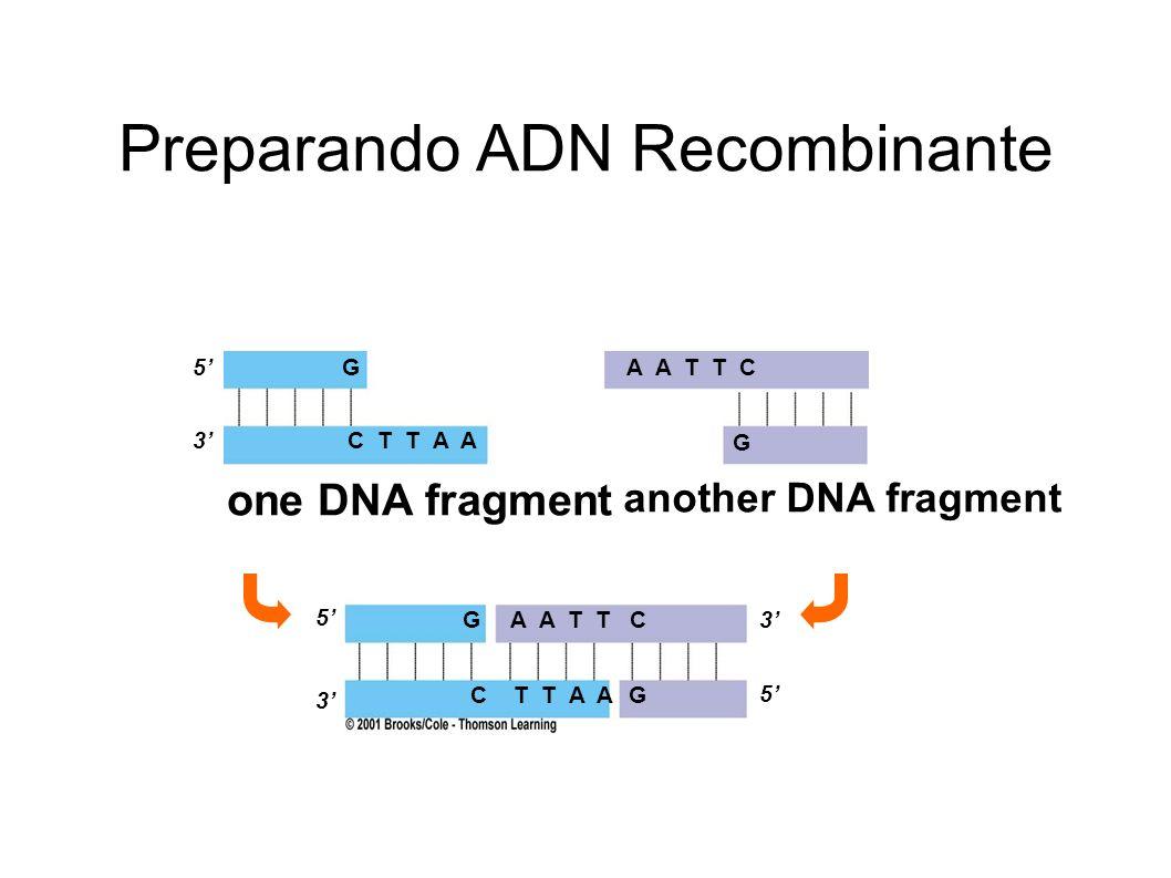 Preparando ADN Recombinante