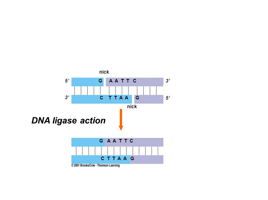 DNA ligase action nick 5' G A A T T C 3' 3' C T T A A G 5' nick G