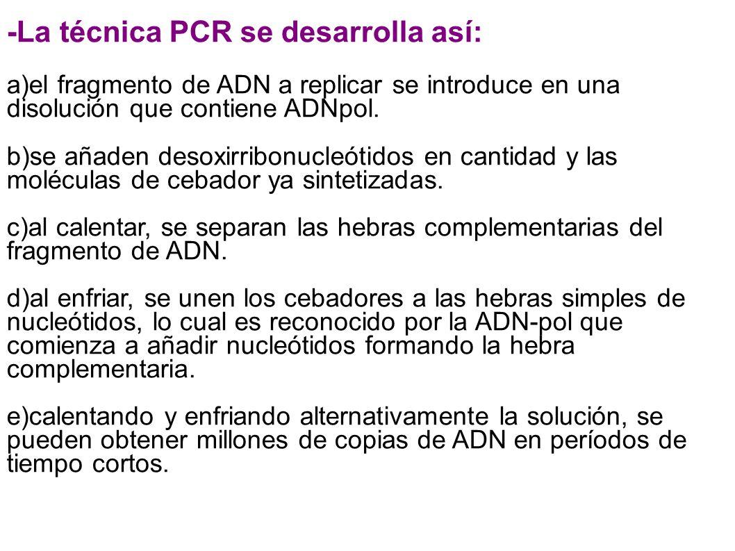 -La técnica PCR se desarrolla así: