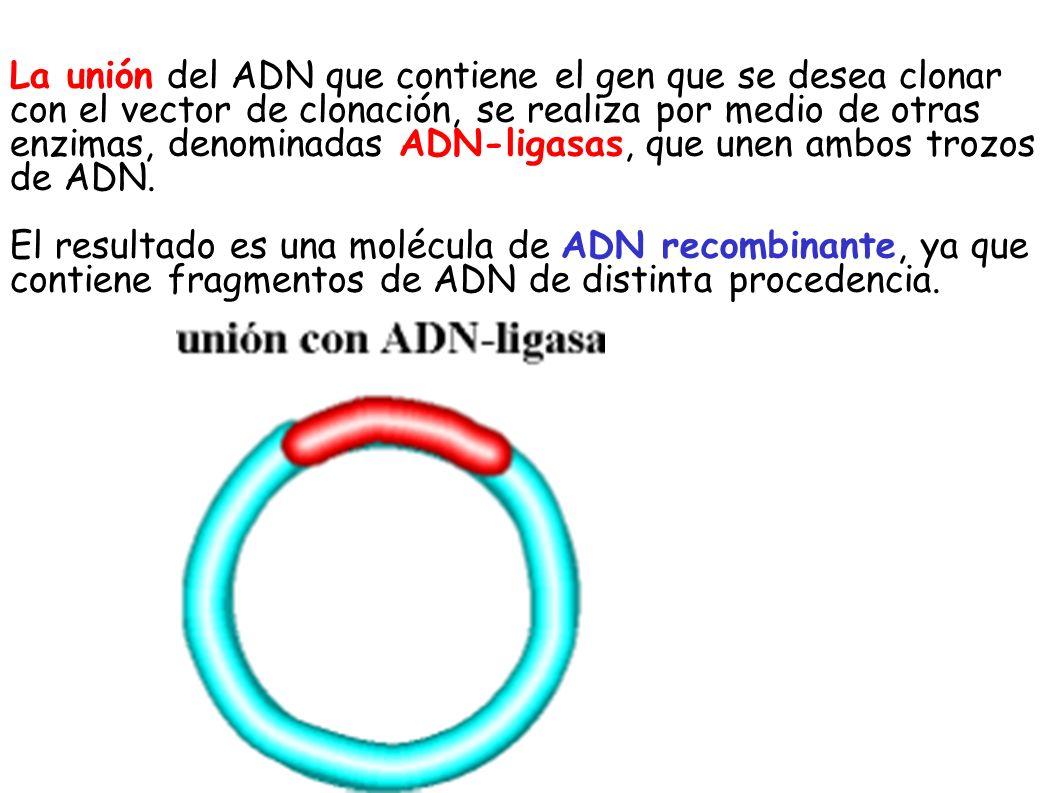 La unión del ADN que contiene el gen que se desea clonar con el vector de clonación, se realiza por medio de otras enzimas, denominadas ADN-ligasas, que unen ambos trozos de ADN.