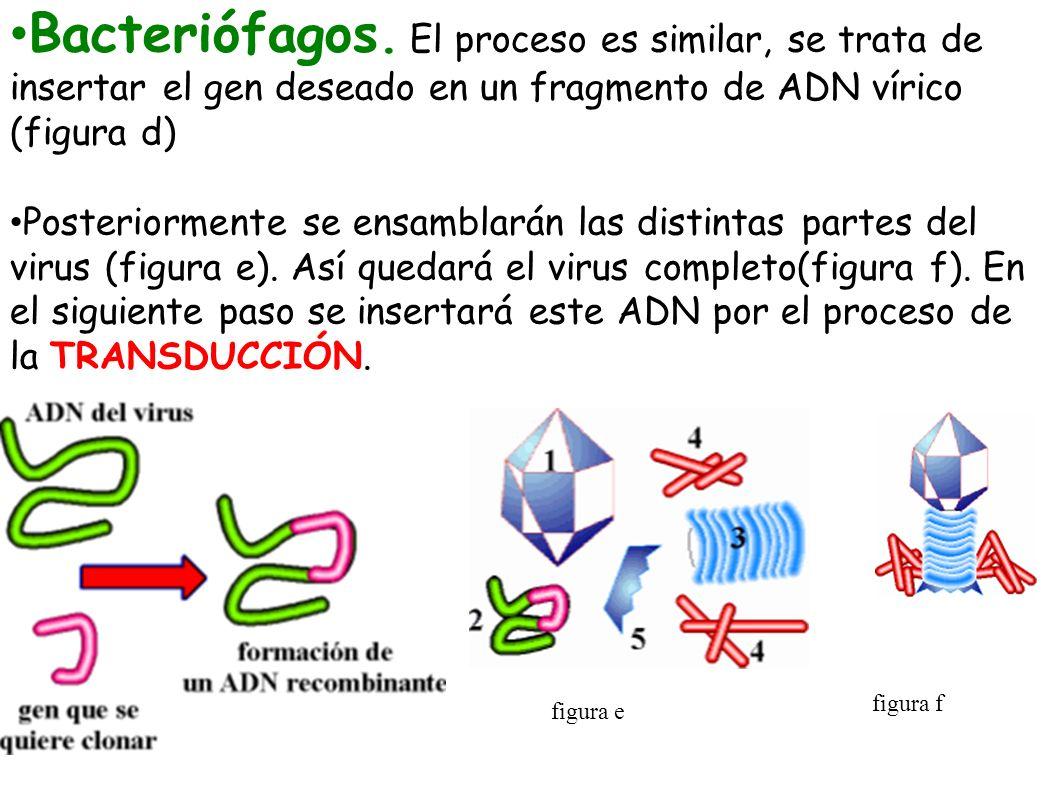 Bacteriófagos. El proceso es similar, se trata de insertar el gen deseado en un fragmento de ADN vírico (figura d)