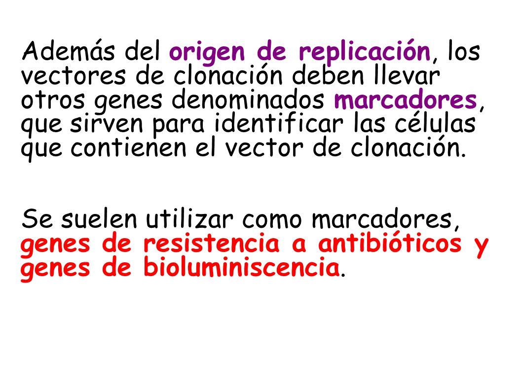 Además del origen de replicación, los vectores de clonación deben llevar otros genes denominados marcadores, que sirven para identificar las células que contienen el vector de clonación.