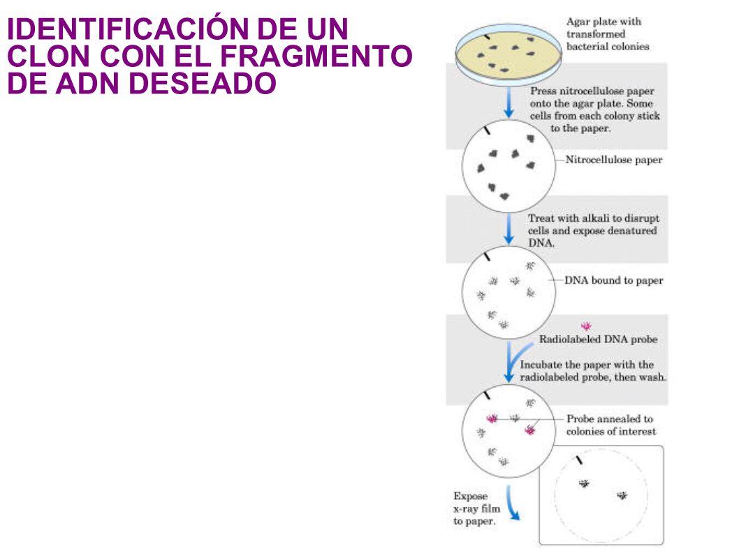 IDENTIFICACIÓN DE UN CLON CON EL FRAGMENTO DE ADN DESEADO 1 ! &- 1# !