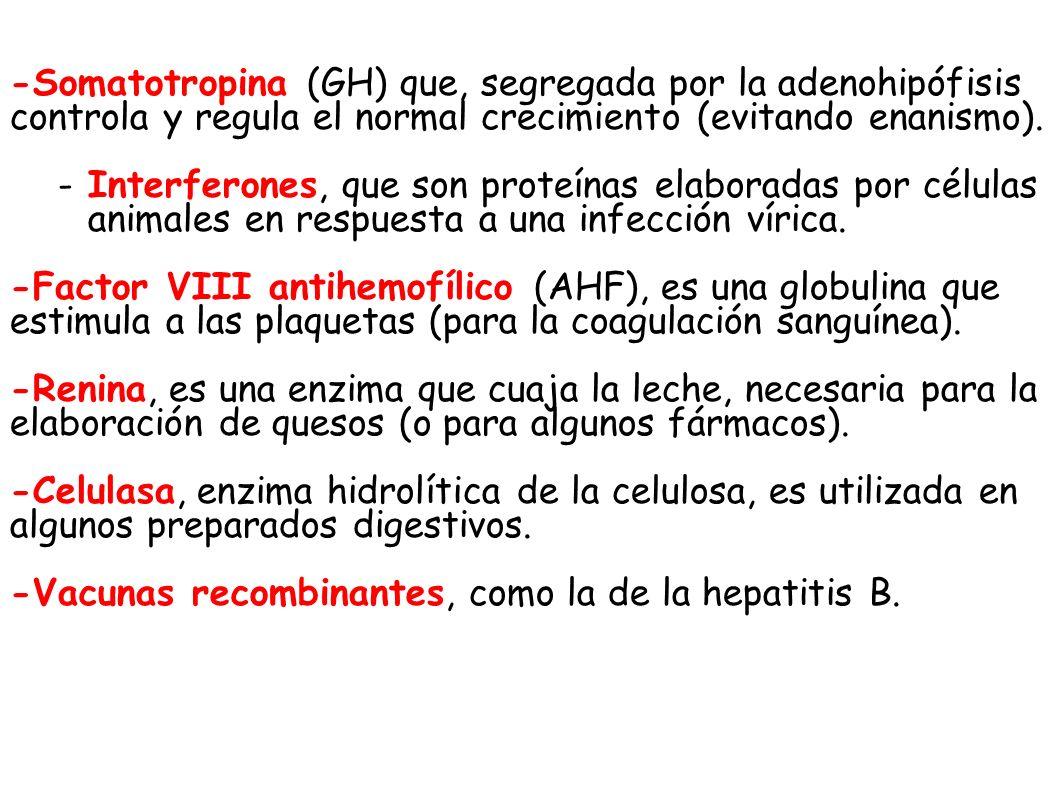 -Somatotropina (GH) que, segregada por la adenohipófisis controla y regula el normal crecimiento (evitando enanismo).