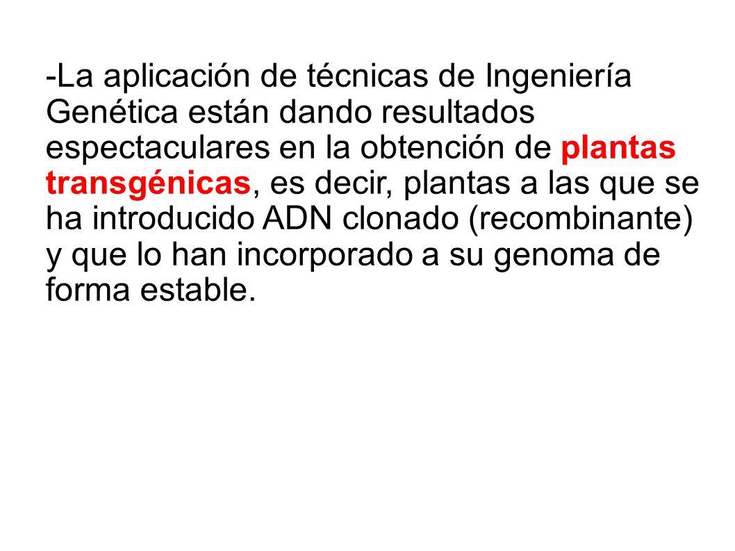 -La aplicación de técnicas de Ingeniería Genética están dando resultados espectaculares en la obtención de plantas transgénicas, es decir, plantas a las que se ha introducido ADN clonado (recombinante) y que lo han incorporado a su genoma de forma estable.