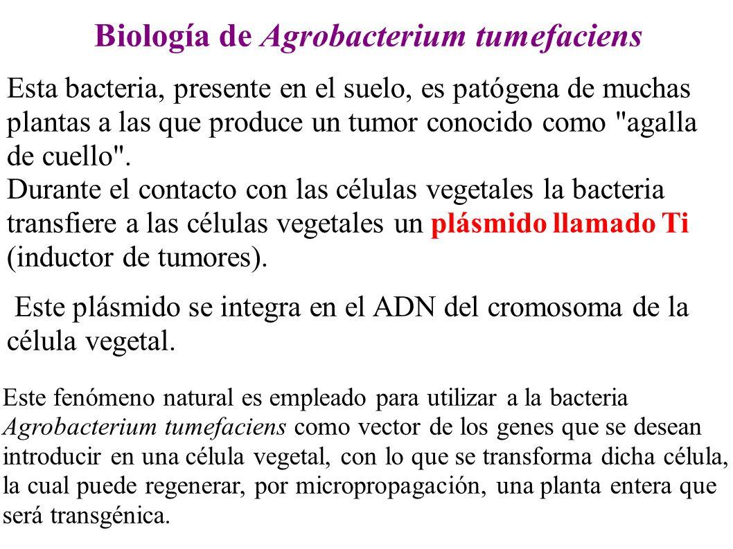Biología de Agrobacterium tumefaciens