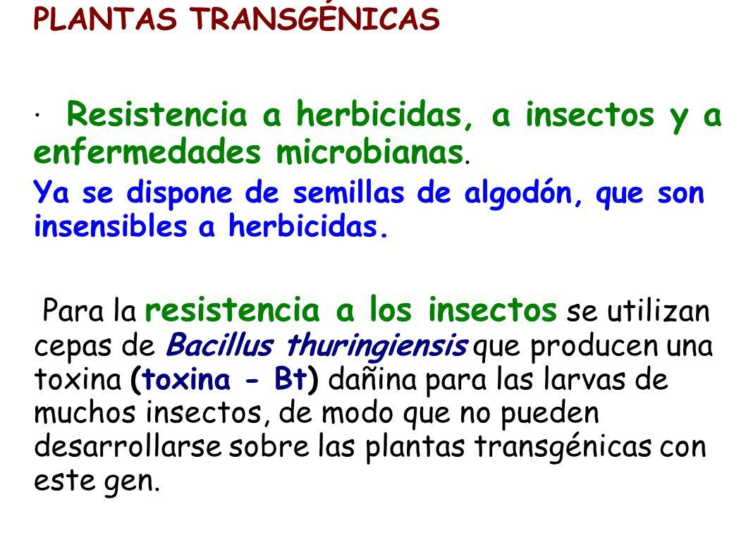 PLANTAS TRANSGÉNICAS · Resistencia a herbicidas, a insectos y a enfermedades microbianas.