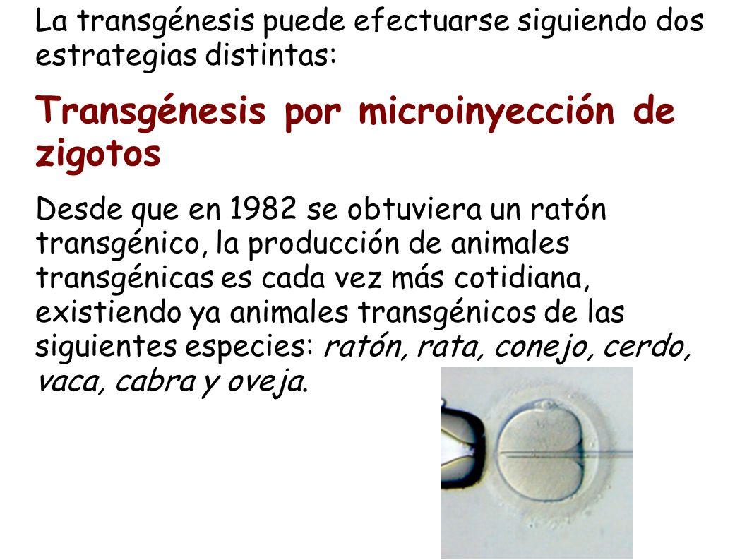Transgénesis por microinyección de zigotos