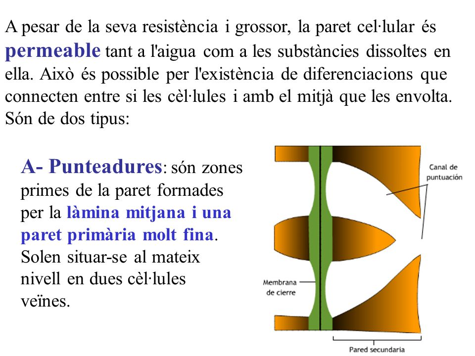 A pesar de la seva resistència i grossor, la paret cel·lular és permeable tant a l aigua com a les substàncies dissoltes en ella. Això és possible per l existència de diferenciacions que connecten entre si les cèl·lules i amb el mitjà que les envolta. Són de dos tipus: