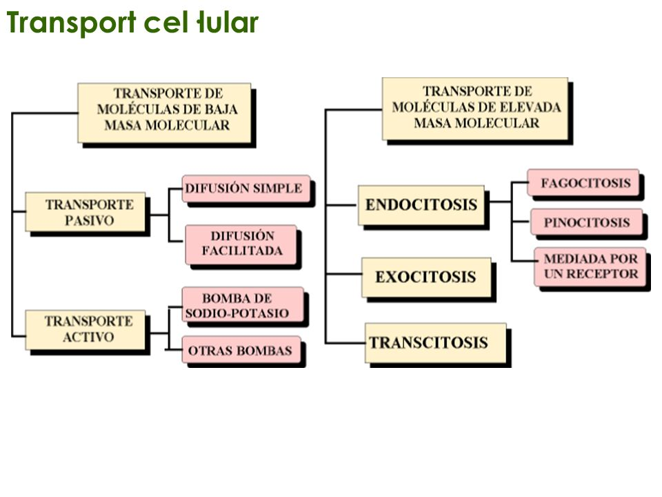 Transport cel·lular