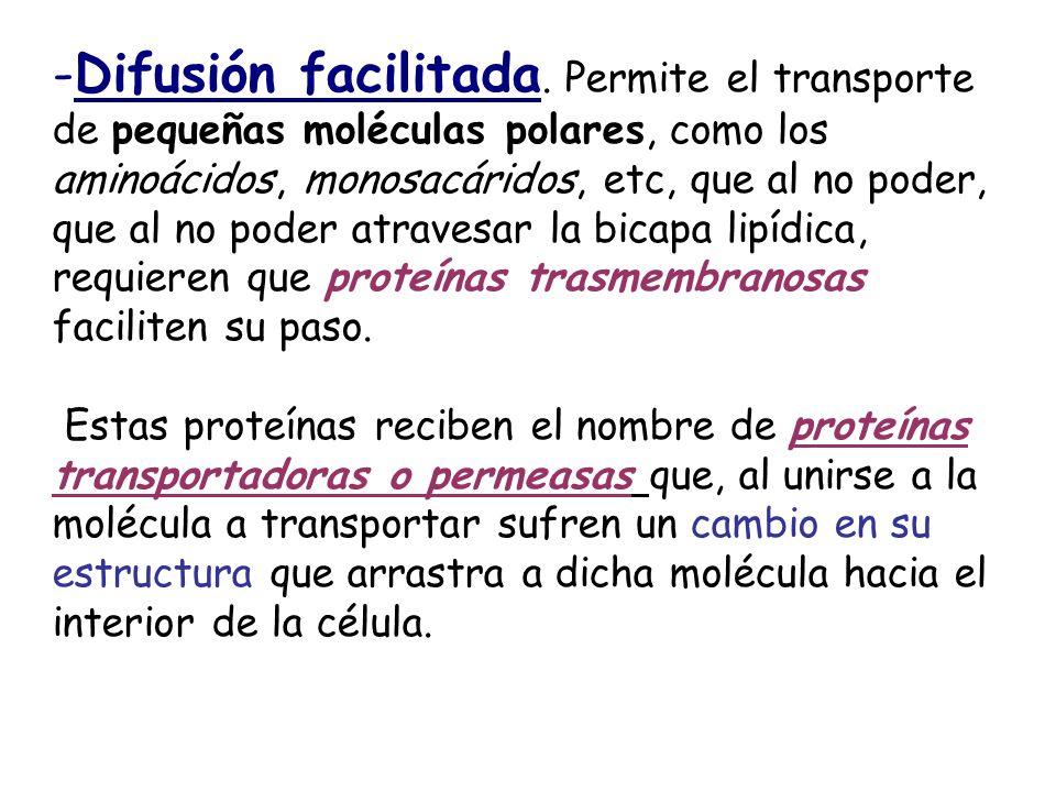 Difusión facilitada. Permite el transporte de pequeñas moléculas polares, como los aminoácidos, monosacáridos, etc, que al no poder, que al no poder atravesar la bicapa lipídica, requieren que proteínas trasmembranosas faciliten su paso.