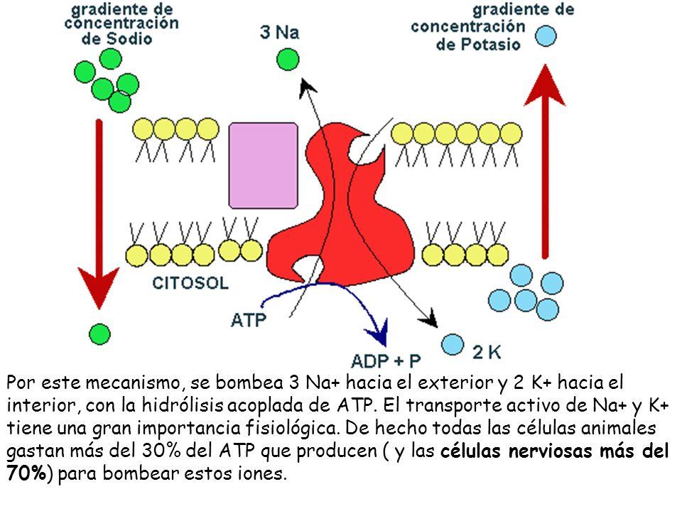 Por este mecanismo, se bombea 3 Na+ hacia el exterior y 2 K+ hacia el interior, con la hidrólisis acoplada de ATP.