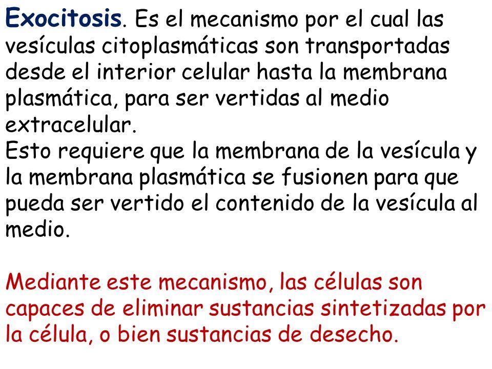 Exocitosis. Es el mecanismo por el cual las vesículas citoplasmáticas son transportadas desde el interior celular hasta la membrana plasmática, para ser vertidas al medio extracelular.
