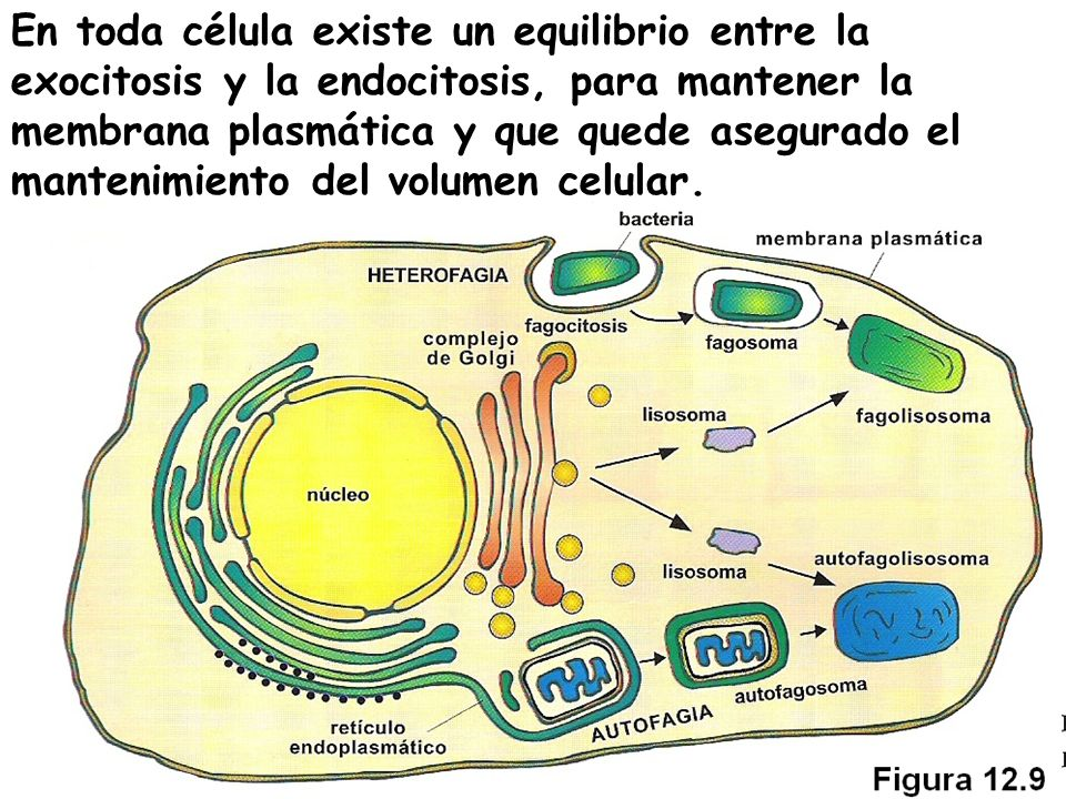 En toda célula existe un equilibrio entre la exocitosis y la endocitosis, para mantener la membrana plasmática y que quede asegurado el mantenimiento del volumen celular.
