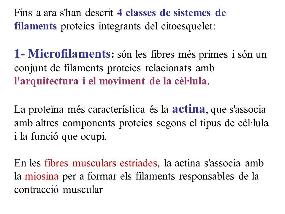 Fins a ara s han descrit 4 classes de sistemes de filaments proteics integrants del citoesquelet: