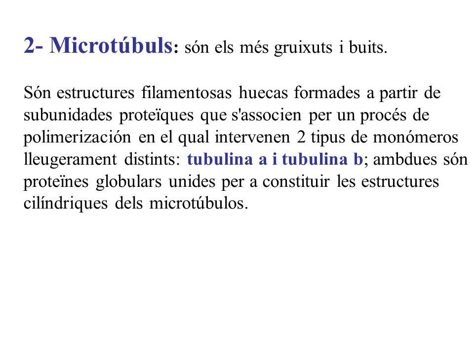 2- Microtúbuls: són els més gruixuts i buits.