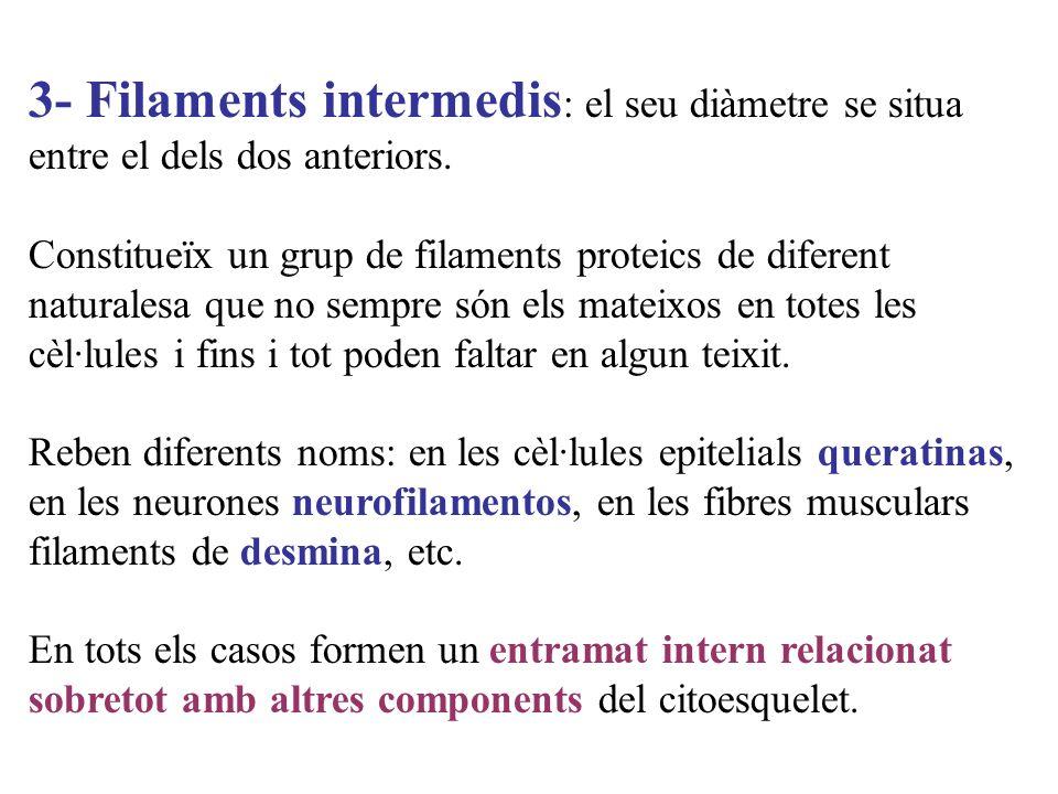 3- Filaments intermedis: el seu diàmetre se situa entre el dels dos anteriors.