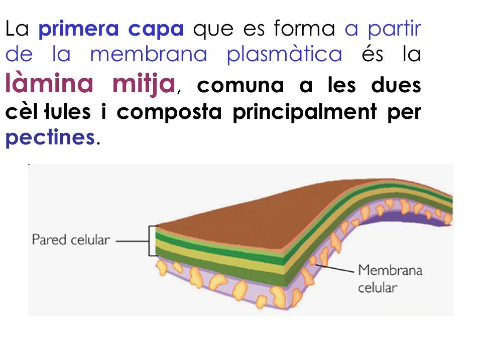La primera capa que es forma a partir de la membrana plasmàtica és la làmina mitja, comuna a les dues cèl·lules i composta principalment per pectines.