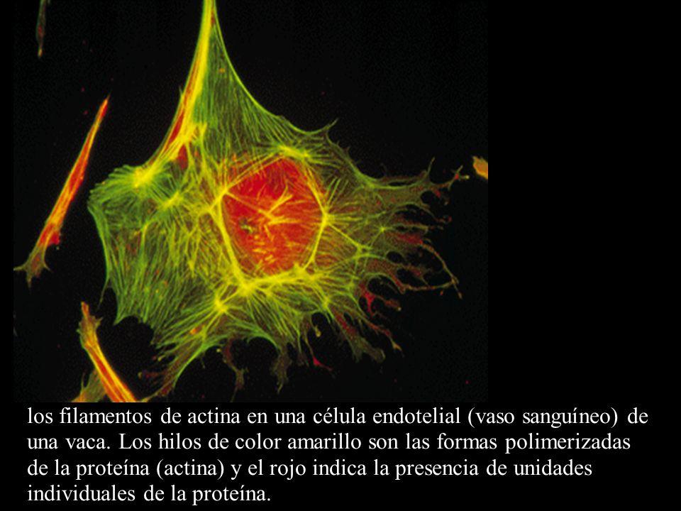 los filamentos de actina en una célula endotelial (vaso sanguíneo) de una vaca.