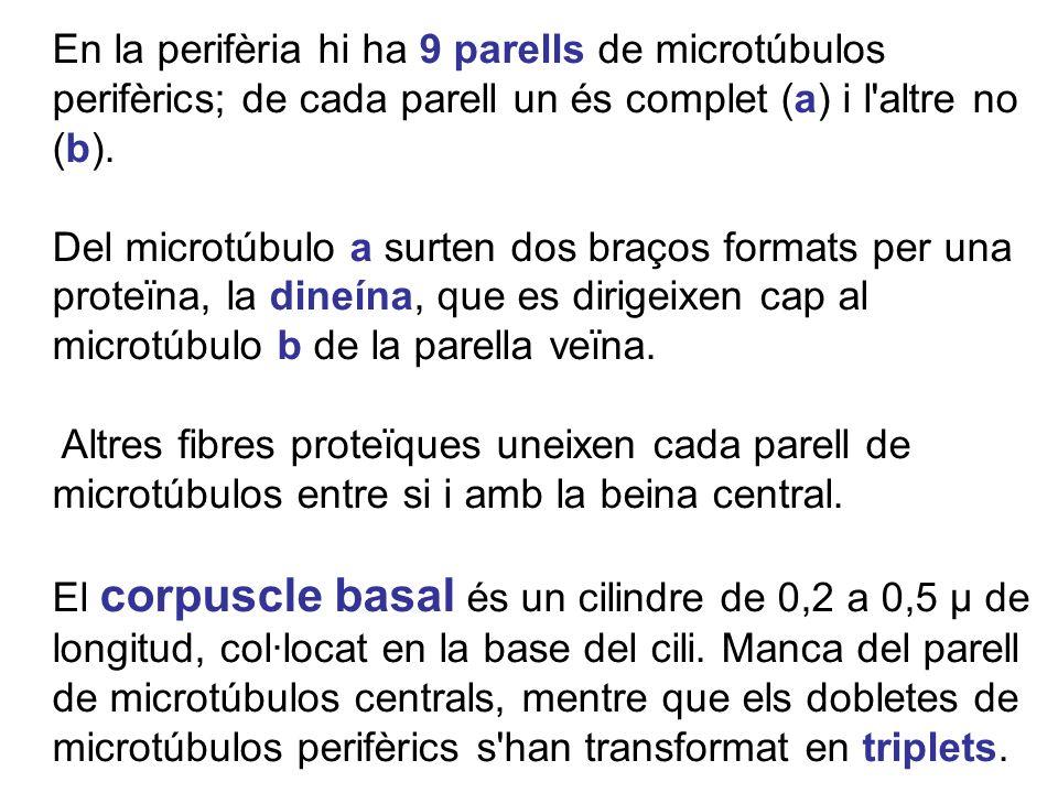 En la perifèria hi ha 9 parells de microtúbulos perifèrics; de cada parell un és complet (a) i l altre no (b).
