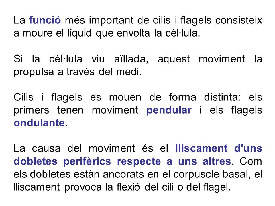 La funció més important de cilis i flagels consisteix a moure el líquid que envolta la cèl·lula.