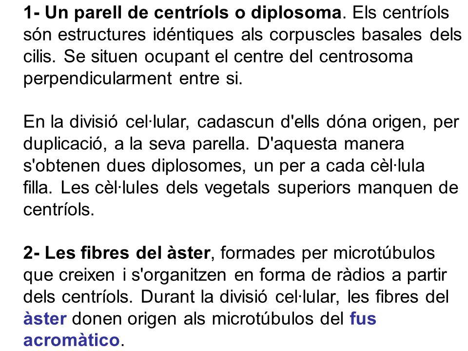 1- Un parell de centríols o diplosoma