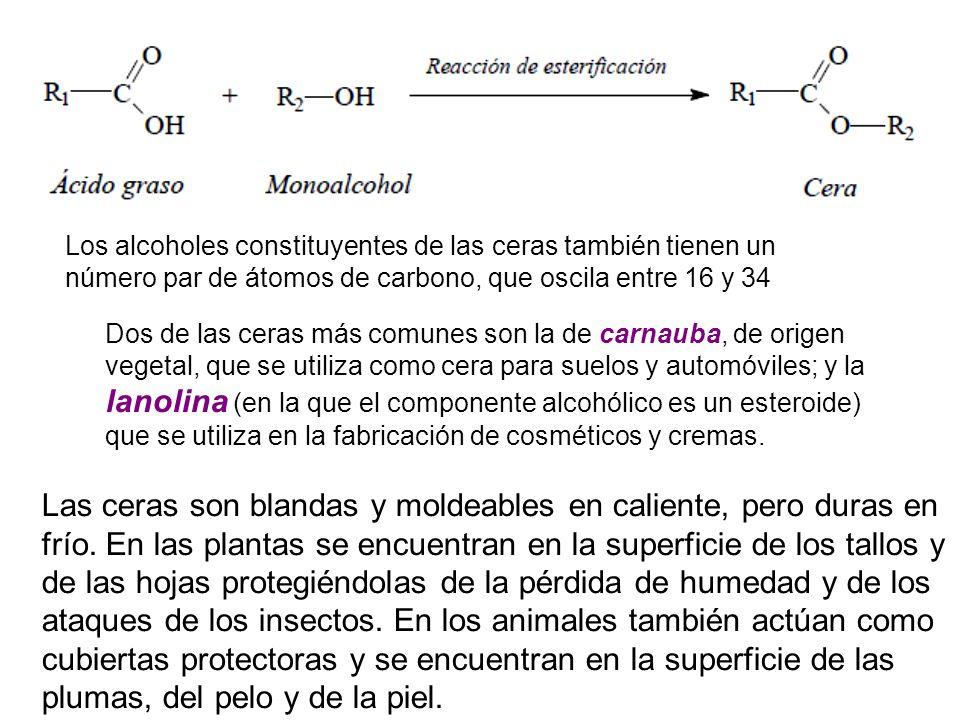 Los alcoholes constituyentes de las ceras también tienen un número par de átomos de carbono, que oscila entre 16 y 34