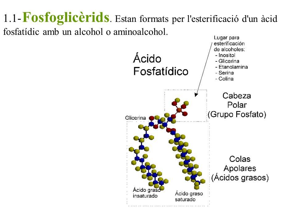 1.1- Fosfoglicèrids.