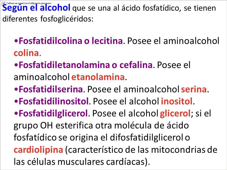 Según el alcohol que se una al ácido fosfatídico, se tienen diferentes fosfoglicéridos: