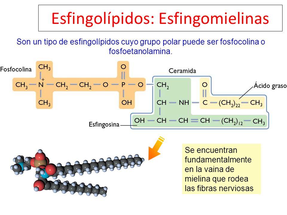 Esfingolípidos: Esfingomielinas