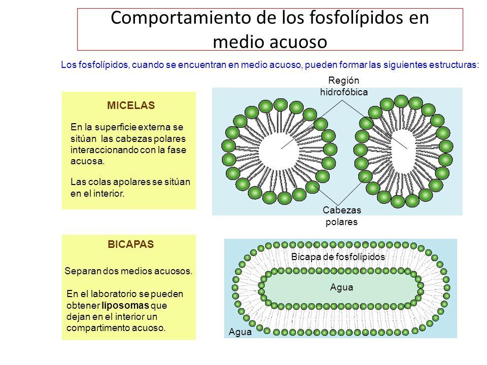 Comportamiento de los fosfolípidos en medio acuoso
