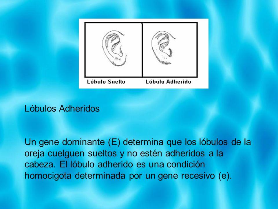 Lóbulos Adheridos