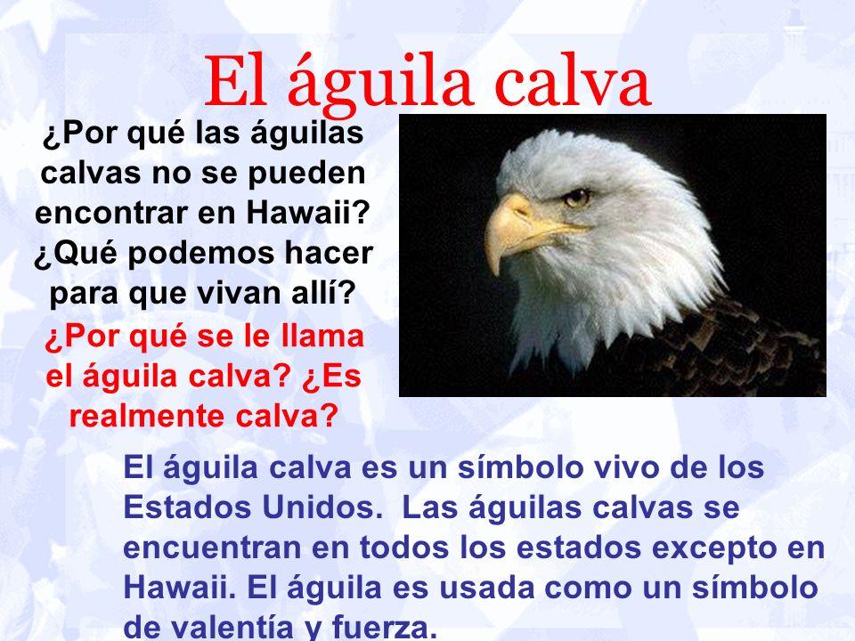 ¿Por qué se le llama el águila calva ¿Es realmente calva
