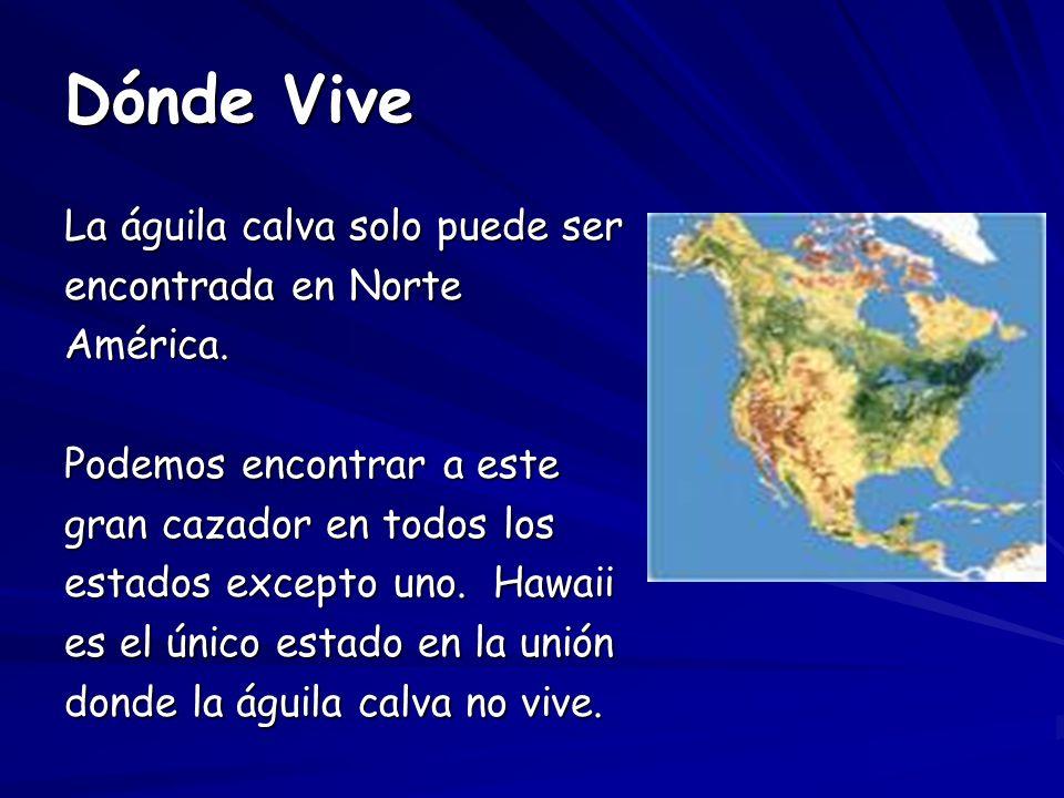 Dónde Vive La águila calva solo puede ser encontrada en Norte América.