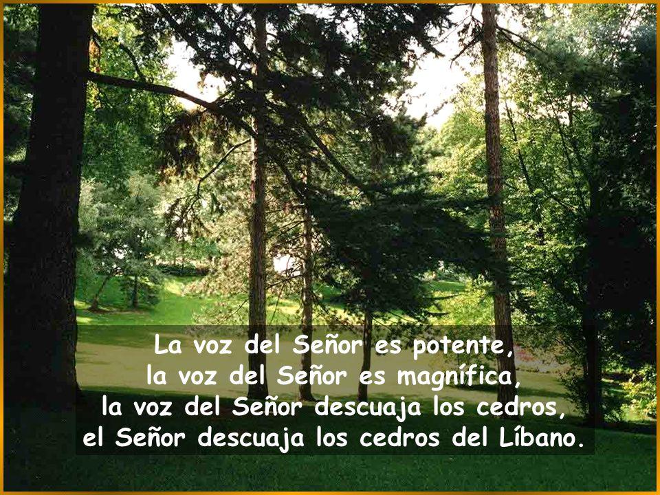 La voz del Señor es potente, la voz del Señor es magnífica, la voz del Señor descuaja los cedros, el Señor descuaja los cedros del Líbano.