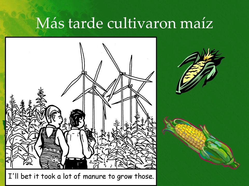 Más tarde cultivaron maíz