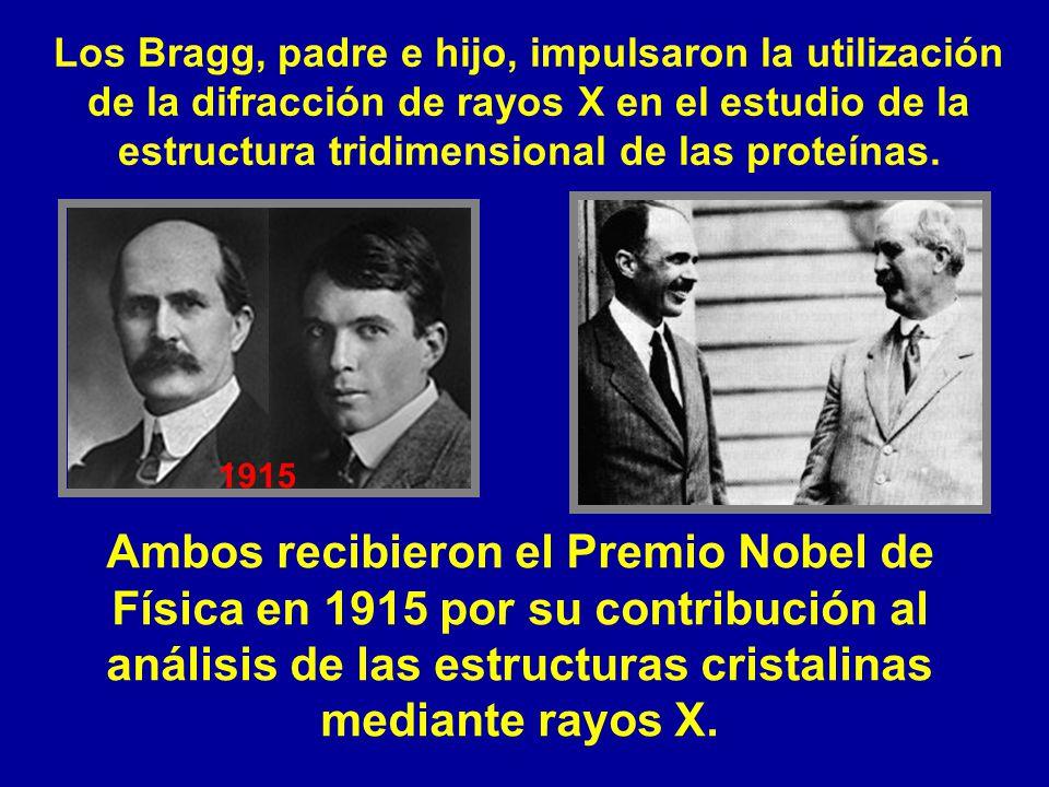 Los Bragg, padre e hijo, impulsaron la utilización de la difracción de rayos X en el estudio de la estructura tridimensional de las proteínas.