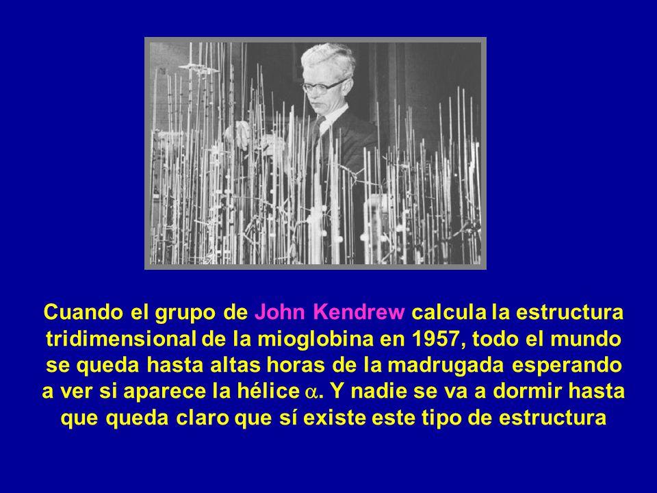Cuando el grupo de John Kendrew calcula la estructura tridimensional de la mioglobina en 1957, todo el mundo se queda hasta altas horas de la madrugada esperando a ver si aparece la hélice a.