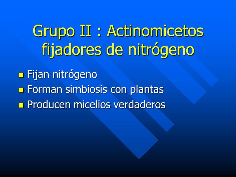 Grupo II : Actinomicetos fijadores de nitrógeno